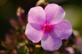 Still a Phlox in bloom