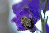 A sleepy bumble bee
