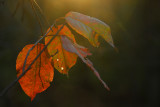 Chasing the light and last leaves