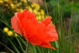 A Poppy in October??
