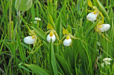 Cypripedium candidum: White Lady's-slipper