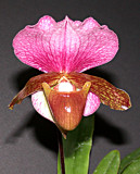 The Genus Paphiopedilum