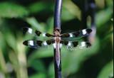 Tweleve-Spotted Skimmer - Lebellula puchella