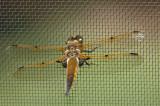 Four-Spotted Skimmer - Libellula quadrimaculata - female