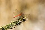 Meadowhawk - Sympetrum sp.