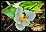 A teeny tiny bee or maybe a bee fly?