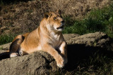 Lioness, Oakland Zoo