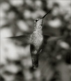 Pin Feather, BW