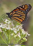 Monarch profile