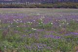 Prairie Verbena Field