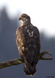 Bald Eagle (Juvenile)