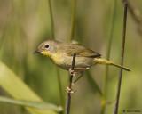 Common Yellowthroat Warbler Female