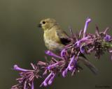 Amercian Goldfinch