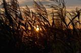 Grass, Wind  And Setting Sun