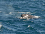 Whale  North Atlantic