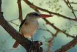 Brownhooded Kinfisher