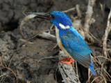 Halfcollared Kingfisher and Shrimp