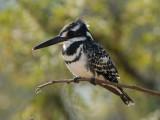 Pied Kingfisher   Kruger