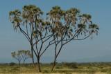 Typical Samburu palmtrees