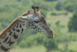 Masai Giraffe Masai Mara