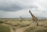 Net Giraffe Samburu