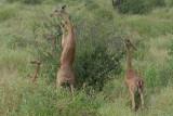 Gerenuk Samburu Feeding on hindlegs