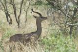Male Gerenuk  Samburu