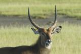 Waterbuck  Nakuru