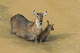 Waterbuck Mother and calf  Mount Kenya