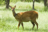 Bushbuck  Masai Mara
