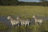 Zebra's Nakuru