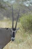 Spiesbok  Samburu