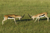 Thomson gazelles  Nakuru