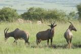 Topi  Masai Mara