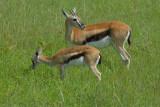 Thomson Gazelle  Masai Mara