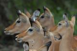 Impala's  Samburu