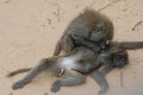 Baboons  Samburu