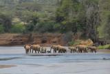 Elephants in Samburu River