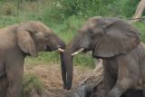 African Elephants  Samburu