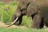 African Elephant  Mount Kenya