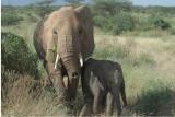 African Elephant  Samburu