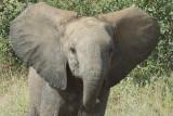 African Elephant  warning Photographer