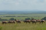 Topi's  in Masai Mara plains