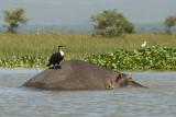 Hippo and Cormerant  Naivasha