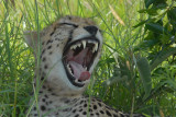 Cheetah  yawning  Masai Mara