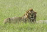 Lion   Masai Maraw