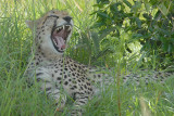 Yawning Cheetah   Masai Mara