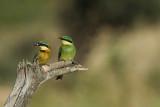 Little Bee-Eater  Samburu