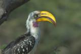 Yellow-Billed Hornbill  Samburu