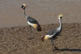 Grey Crowned Crane  Samburu
